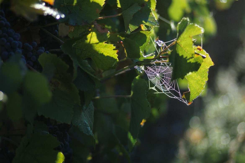 WeingutRH-Spinnwebe161214.jpg